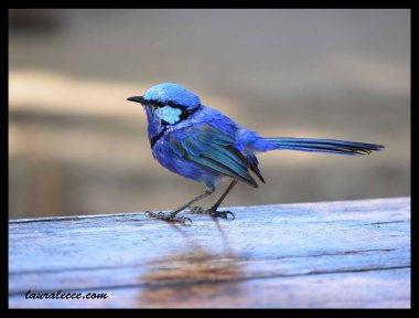 Blue Bird of Western Australia