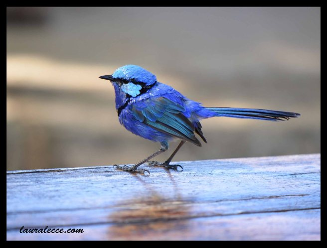 Blue Bird of Western Australia - Photograph by Laura Lecce