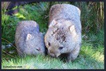 Cuddly Wombats