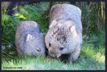 Cuddly Wombats