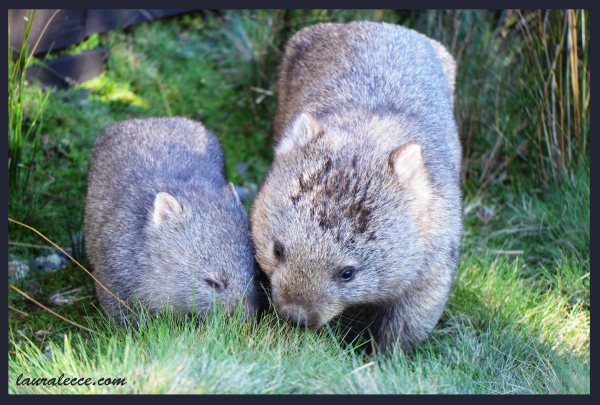 Cuddly Wombats - Photograph by Laura Lecce