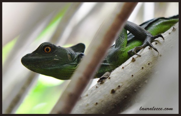 Jesus Christ Lizard - Photograph by Laura Lecce