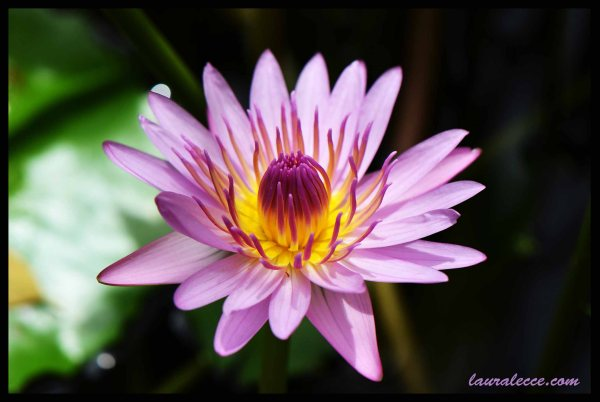 Pink Water Lily - Photograph by Laura Lecce