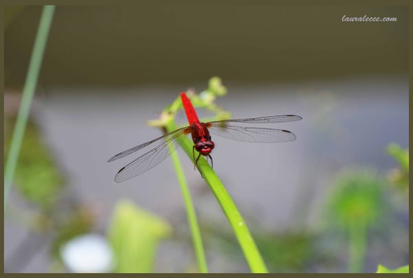 Another Red Dragonfly - Photograph by Laura Lecce