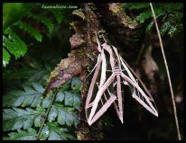 Fighter Jet Moth