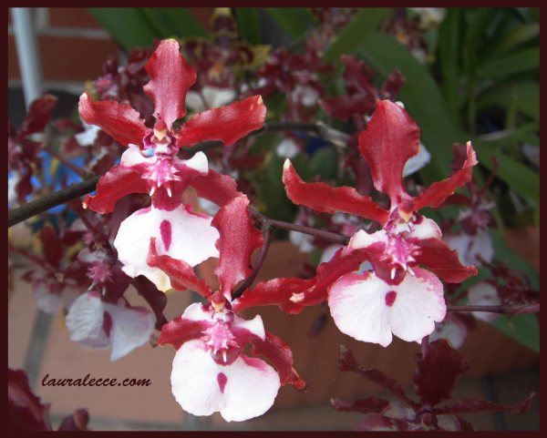 Oncidium Sharry Baby - Photograph by Laura Lecce