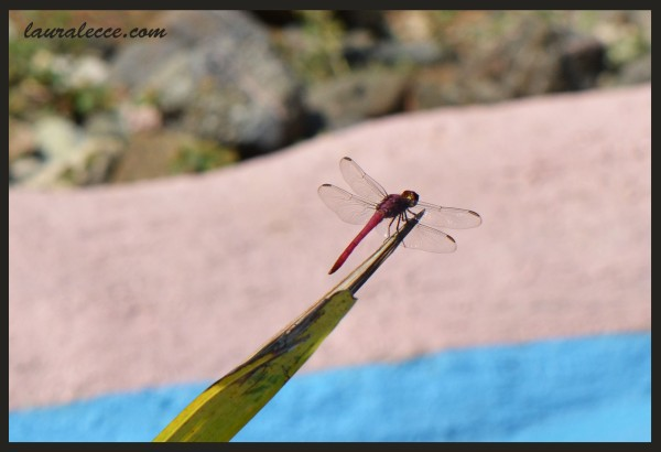Pink Dragonfly - Photograph by Laura Lecce
