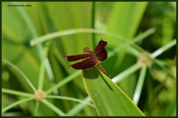 Red Dragonfly - Photograph by Laura Lecce