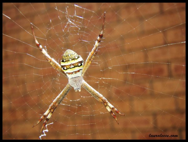 St Andrews Cross Spider - Photograph by Laura Lecce
