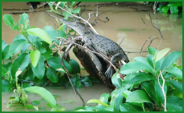 Baby Croc - Photograph by Laura Lecce