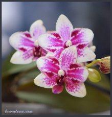 Doritaenopsis Taisuco Micky