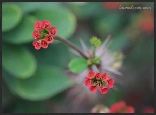 Euphorbia Didieriodes Flower - Photograph by Laura Lecce