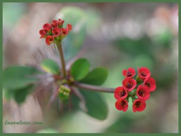 Euphorbia Didieriodes