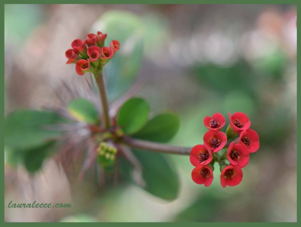 Euphorbia Didieriodes - Photograph by Laura Lecce