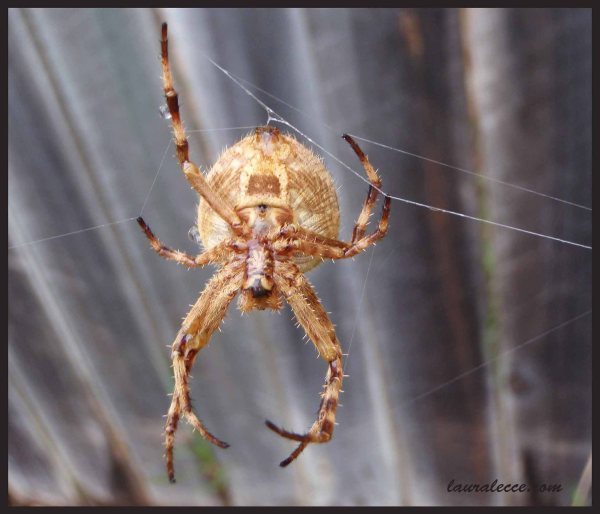 Garden Orb Weaver - Photograph by Laura Lecce