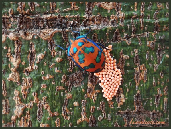 Hibiscus Harlequin Bug - Photograph by Laura Lecce