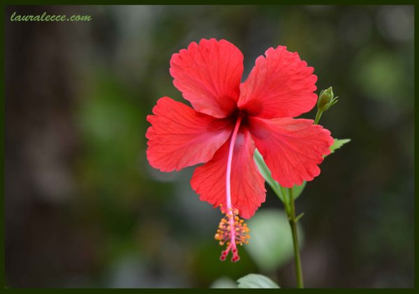 Hibiscus - Photograph by Laura Lecce