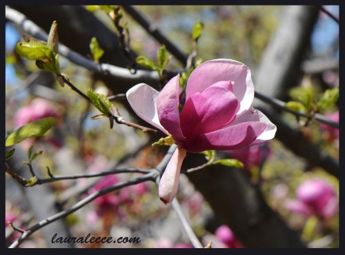 Magnolia Flower - Photograph by Laura Lecce