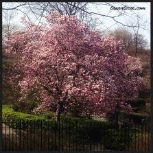Magnolia Tree in Full Bloom