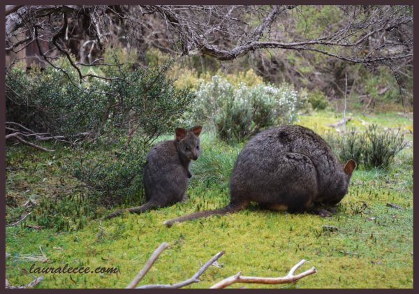 Mum and Bub Pademelon - Photograph by Laura Lecce