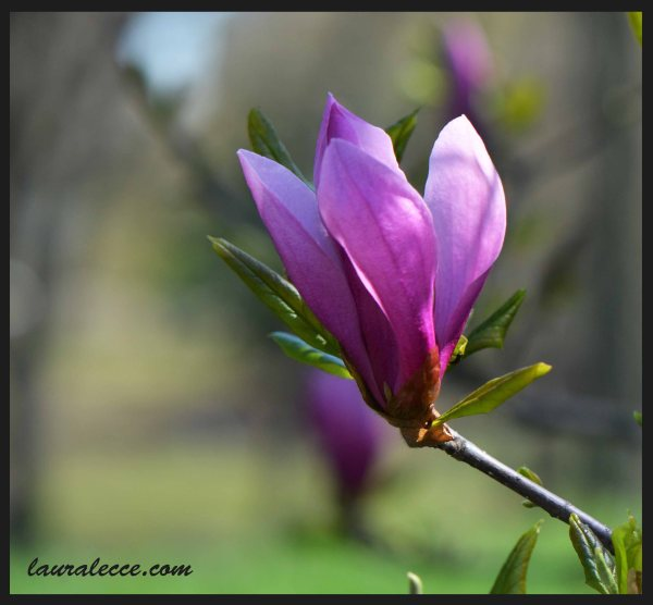 Imperfect Magnolia - Photograph by Laura Lecce