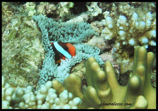 Clownfish Quirks - Photograph by Laura Lecce