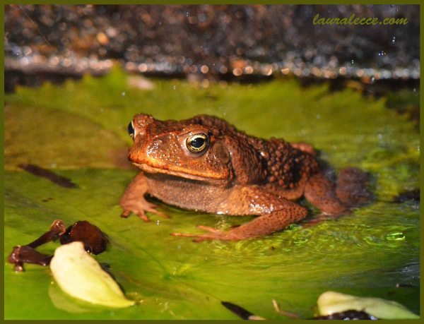 Golden Eyed Toad - Photograph by Laura Lecce