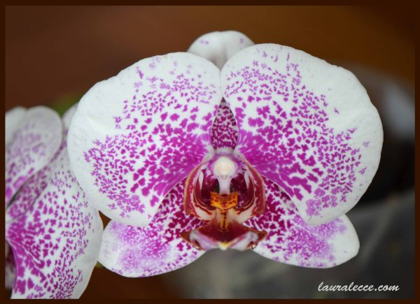 Pink Speckled Phal - Photograph by Laura Lecce