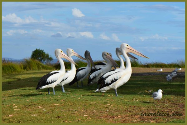 Pod of Pelicans - Photograph by Laura Lecce