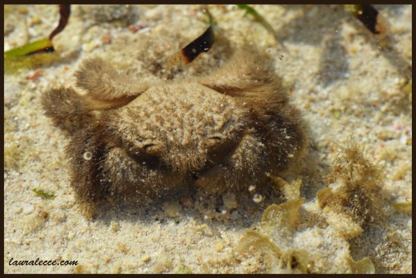 Teddy Bear Crab - Photograph by Laura Lecce