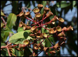 Eucalyptus Gum Nuts