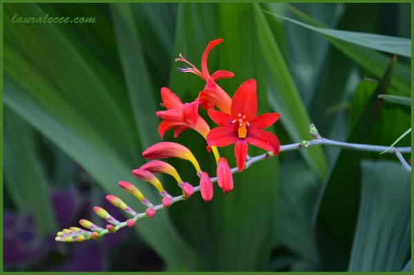 Crocosmia Lucifer - Photograph by Laura Lecce