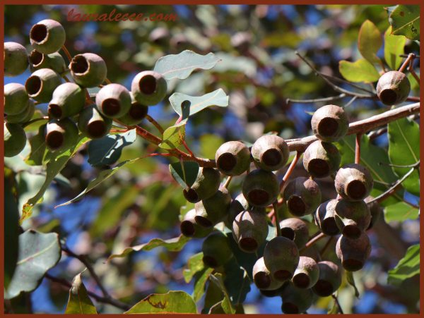 Aussie Gumnuts - Photograph by Laura Lecce