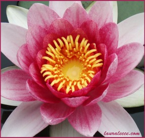 Pink Water Lily Perfection