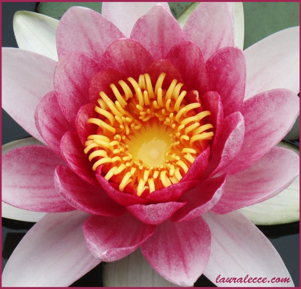 Pink Water Lily Perfection - Photograph by Laura Lecce