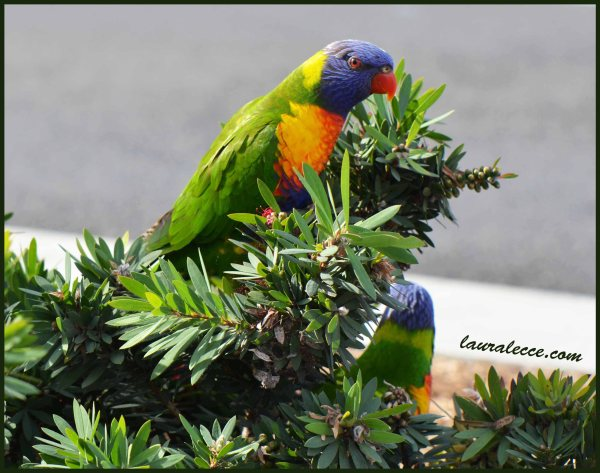 Rainbow Lorikeets - Photograph by Laura Lecce