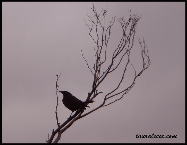 Black Crow - Photograph by Laura Lecce