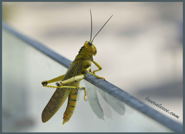 Blue Eyed Grasshopper - Photograph by Laura Lecce