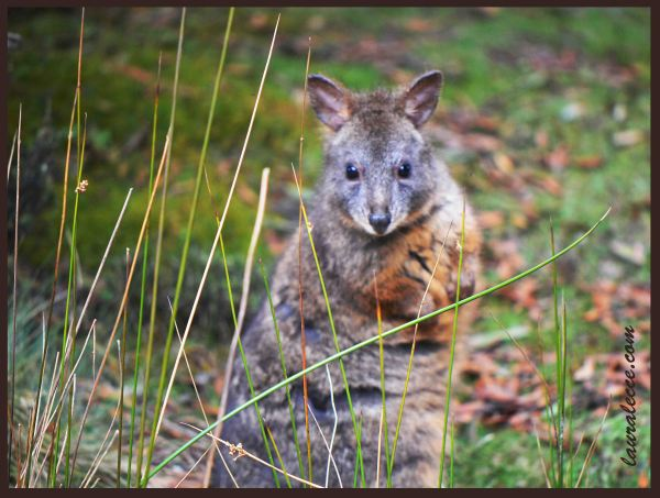 The Cutest Pademelon - Photograph by Laura Lecce
