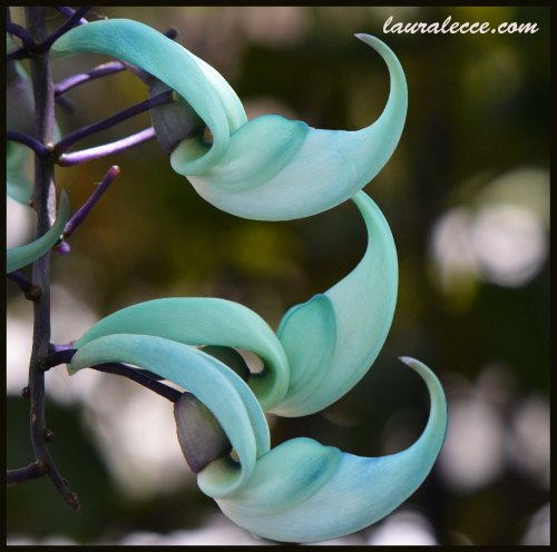 Jade Vine - Photograph by Laura Lecce