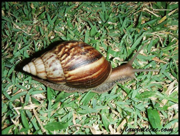 Malaysian Snail - Photograph by Laura Lecce