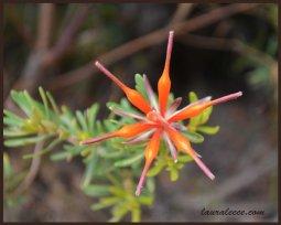 Aussie Star