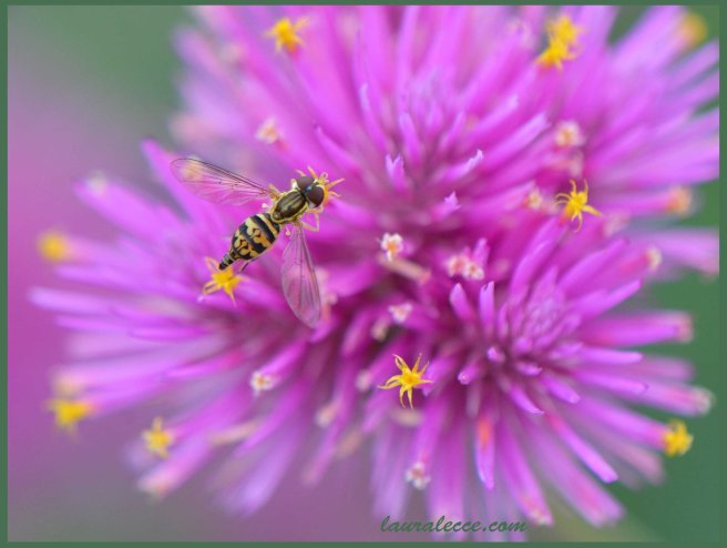 Hoverfly - Photograph by Laura Lecce
