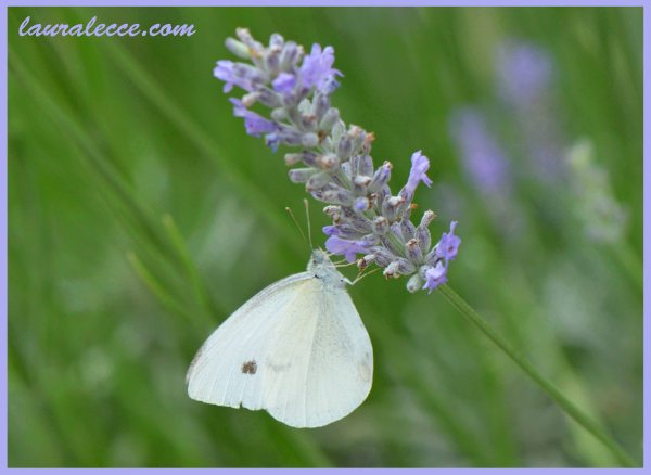 Lavender with Butterfly - Photograph by Laura Lecce
