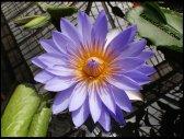 San Fran Water Lily