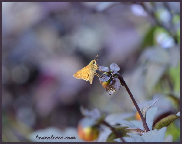 Skipper Butterfly - Photograph by Laura Lecce