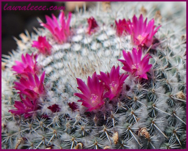 Cactus Flowers - Photograph by Laura Lecce