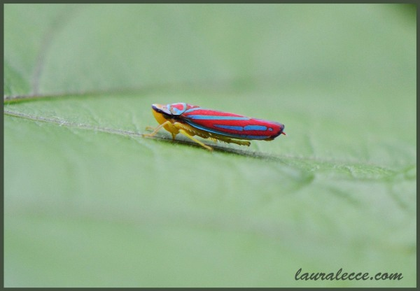 Leafhopper - Photograph by Laura Lecce