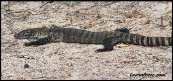 Chilled out goanna