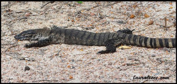 Chilled out goanna - Photograph by Laura Lecce